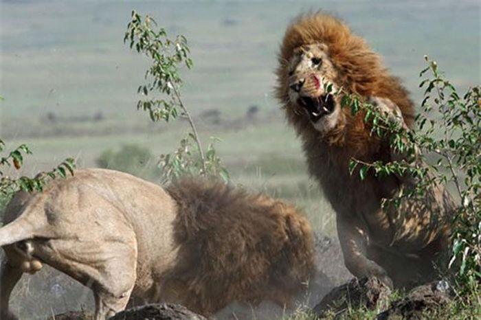 Sư tử đực quyết chiến tranh bạn tình
