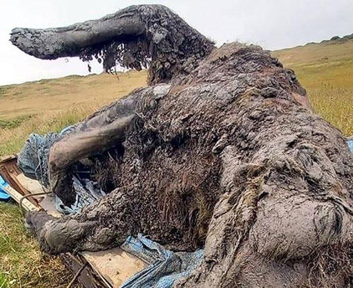 Phát hiện xác ướp loài gấu tuyệt chủng 15.000 năm trước