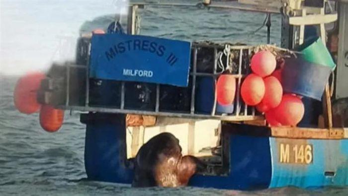 Hải mã trôi dạt từ Bắc Cực tới Ireland, quá giang tàu thủy để về nhà