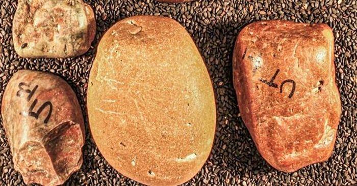 Vác bụng đầy đá, khủng long đi bộ hơn 1.000 km