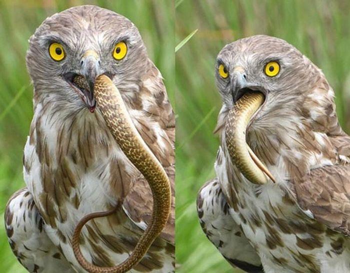 Đại bàng chân ngắn 'xơi tái' rắn hổ cực độc