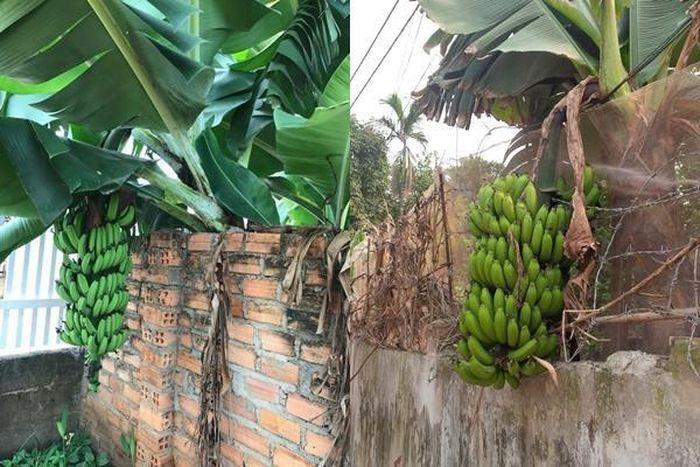 Nhà hàng xóm số hưởng, không trồng cây mà vẫn có quả ăn