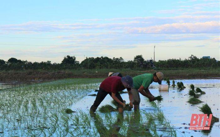 Huyện Hoằng Hóa phấn đấu cấy xong lúa mùa trước ngày 25-6