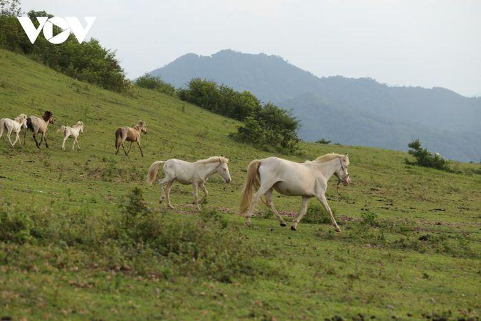 Toàn thân ngựa có lông màu trắng, da trắng hồng, viền mắt và mắt cũng màu đỏ hồng, ban đêm mắt ngựa bắt ánh đèn sẽ ra màu đỏ rực.