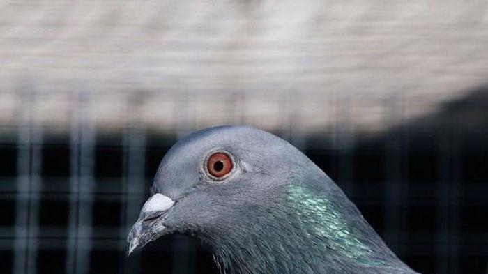 Vượt Thái Bình Dương đến Australia, chú bồ câu Mỹ nhận án tử vì vi phạm luật chống dịch
