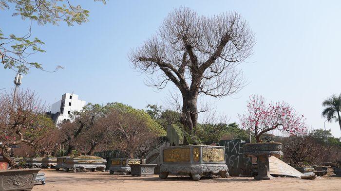 Đào rừng cổ thụ giá trăm triệu chỉ cho thuê chứ không bán