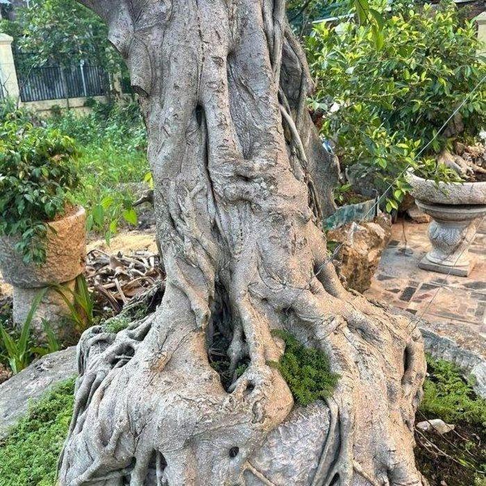 Lão nông mua cây sanh thô ráp 'xấu xí' về uốn nắn, vài năm sau khách trả giá 'khủng' quyết không bán