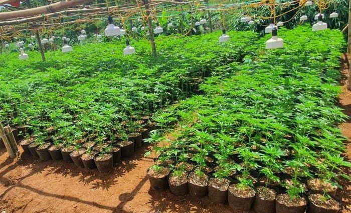 Lời khai của 2 người trồng hơn 2.600 cây cần sa
