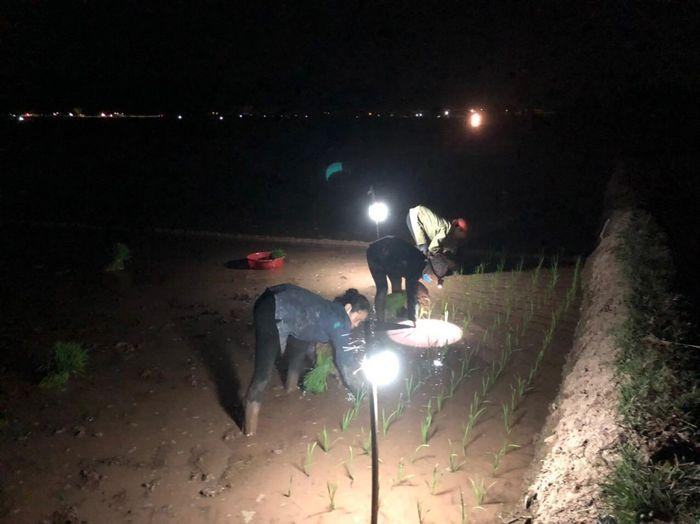 Hà Nội: Nông dân chong đèn cấy lúa đêm tránh nắng