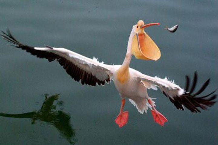 Những 'bật mí' thú vị về chim bồ nông - Doanh Nghiệp Việt Nam